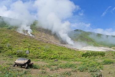 Volcan Alcedo Giant Tortoise (Chelonoidis nigra vandenburghi) male walking past steaming fumaroles in caldera, Isabella Island, Galapagos Islands, Ecuador  -  Tui De Roy