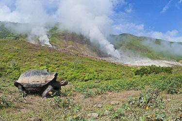 Volcan Alcedo Giant Tortoise (Chelonoidis nigra vandenburghi) male walking past steaming fumaroles on caldera, Isabella Island, Galapagos Islands, Ecuador  -  Tui De Roy