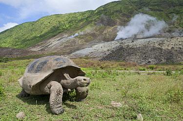 Volcan Alcedo Giant Tortoise (Chelonoidis nigra vandenburghi) male with steaming fumaroles on caldera floor, Isabella Island, Galapagos Islands, Ecuador  -  Tui De Roy