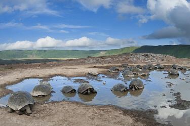 Volcan Alcedo Giant Tortoise (Chelonoidis nigra vandenburghi) group wallowing in rain pool, Isabella Island, Galapagos Islands, Ecuador  -  Tui De Roy