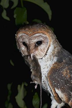 Barn Owl (Tyto alba) eating introduced mouse, Galapagos Islands, Ecuador  -  Tui De Roy