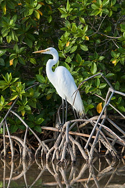Great Egret (Ardea alba) in mangrove lagoon, Galapagos Islands, Ecuador  -  Tui De Roy