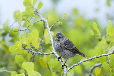 Small Ground-Finch (Geospiza fuliginosa) female, Galapagos Islands, Ecuador  -  Tui De Roy