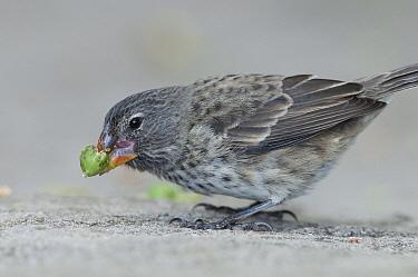 Medium Ground-Finch (Geospiza fortis) feeding on ripe fruit, Galapagos Islands, Ecuador  -  Tui De Roy