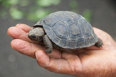 Saddleback Galapagos Tortoise (Chelonoidis hoodensis) captive-bred young awaiting release back onto its island of origin, Galapagos Islands, Ecuador  -  Tui De Roy