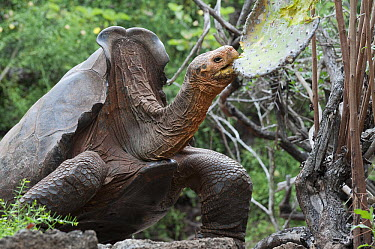 Saddleback Galapagos Tortoise (Chelonoidis nigra hoodensis) named Diego, an old male returned to the Galapagos from the San Diego Zoo in 1977 and sire of large number of young in captive breeding prog...  -  Tui De Roy