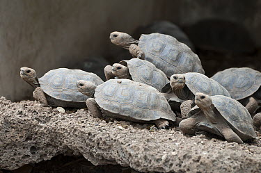 Saddleback Galapagos Tortoise (Chelonoidis hoodensis) captive-bred young awaiting release back onto their islands of origin, Galapagos Islands, Ecuador  -  Tui De Roy
