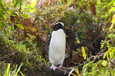 Fiordland Crested Penguin (Eudyptes pachyrhynchus) walking through dense undergrowth to forest nest site, New Zealand  -  Tui De Roy