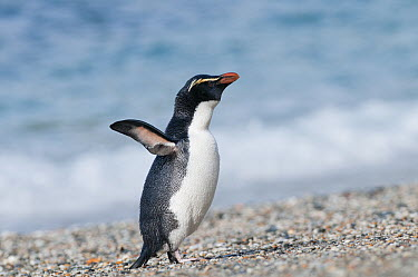 Fiordland Crested Penguin (Eudyptes pachyrhynchus) coming ashore on secluded beach to access nesting colony in thick forest, New Zealand  -  Tui De Roy