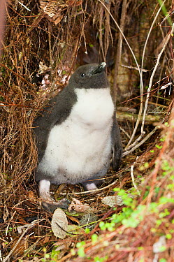 Fiordland Crested Penguin (Eudyptes pachyrhynchus) chick in dense undergrowth, New Zealand  -  Tui De Roy