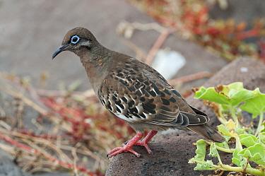 Galapagos Dove (Zenaida galapagoensis), Galapagos Islands, Ecuador  -  Tui De Roy