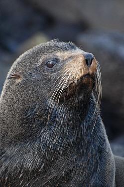 Galapagos Fur Seal (Arctocephalus galapagoensis) bull, Galapagos Islands, Ecuador  -  Tui De Roy