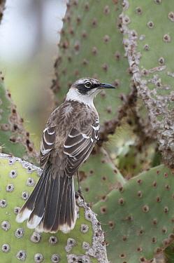 Galapagos Mockingbird (Nesomimus parvulus) on cactus, Galapagos Islands, Ecuador  -  Tui De Roy