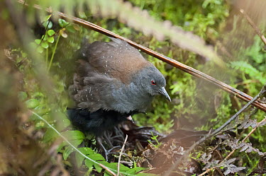 Galapagos Rail (Laterallus spilonotus) brooding small chick, Galapagos Islands, Ecuador  -  Tui De Roy