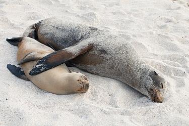 Galapagos Sea Lion (Zalophus wollebaeki) female and pup sleeping together, Galapagos Islands, Ecuador  -  Tui De Roy