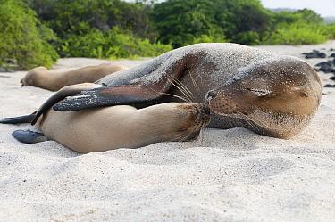 Galapagos Sea Lion (Zalophus wollebaeki) female and pup nuzzling, Galapagos Islands, Ecuador  -  Tui De Roy