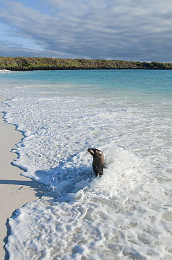 Galapagos Sea Lion (Zalophus wollebaeki) cooling off in waves, Galapagos Islands, Ecuador  -  Tui De Roy