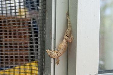 Mourning Gecko (Lepidodactylus lugubris) on building wall, introduced invasive species, Galapagos Islands, Ecuador  -  Tui De Roy