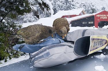 Kea (Nestor notabilis) damaging ski gear, New Zealand  -  Tui De Roy