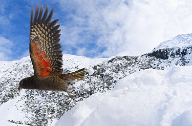 Kea (Nestor notabilis) taking flight showing brilliant coloration under wing, New Zealand  -  Tui De Roy