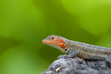 Galapagos Lava Lizard (Microlophus albemarlensis) female in full breeding colors, Galapagos Islands, Ecuador  -  Tui De Roy