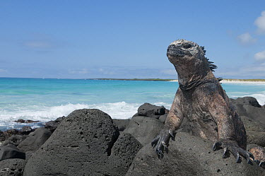 Marine Iguana (Amblyrhynchus cristatus) in sky-pointing position to keep cool in noon sun, Galapagos Islands, Ecuador  -  Tui De Roy