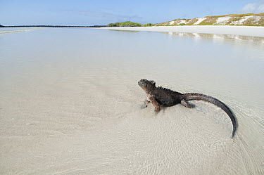 Marine Iguana (Amblyrhynchus cristatus) male on beach, Galapagos Islands, Ecuador  -  Tui De Roy