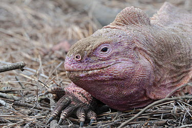 Galapagos Pink Land Iguana (Conolophus marthae) new species described in 2009, confined to highest volcano, Isabella Island, Galapagos Islands, Ecuador  -  Tui De Roy