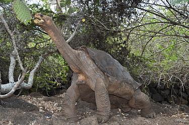 Pinta Island Galapagos Tortoise (Chelonoidis nigra abingdoni) named Lonesome George is the last individual of his subspecies, Charles Darwin Research Center, Pinta Island, Galapagos Islands, Ecuador  -  Tui De Roy