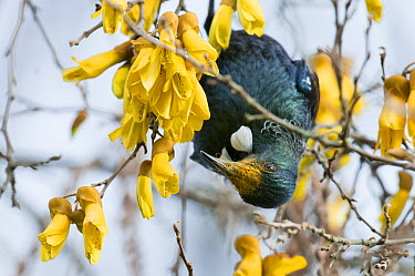 Tui (Prosthemadera novaeseelandiae) hanging on branch to feed on nectar from flowers with pollen on beak, New Zealand  -  Tui De Roy