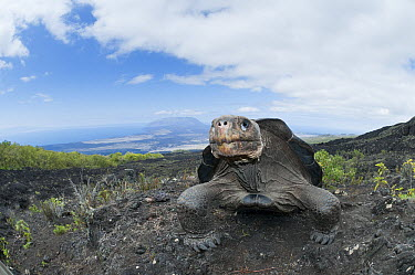 Volcan Wolf Tortoise (Chelonoidis nigra becki), Galapagos Islands, Ecuador  -  Tui De Roy