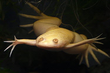 African Clawed Frog (Xenopus laevis) albino floating in water, native to southern Africa  -  Pete Oxford