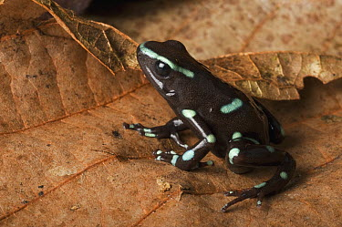Green and Black Poison Dart Frog (Dendrobates auratus), native to Central and South America  -  Pete Oxford