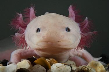 Mexican Axolotl (Ambystoma mexicanum) leucistic neotenic sub-adult, native to Mexico  -  Pete Oxford