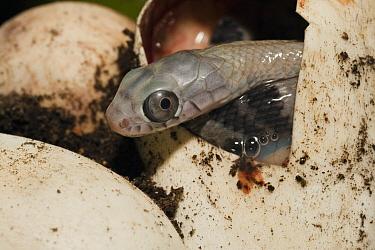 False Cobra (Pseustes sulphureus) hatching from egg in vivarium, Quito, Ecuador  -  Pete Oxford