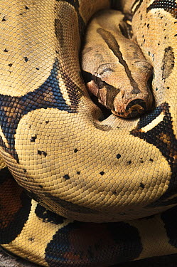 Boa Constrictor (Boa constrictor), native to Central and South America  -  Pete Oxford