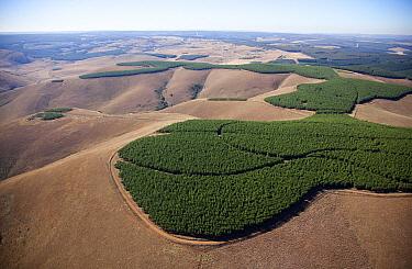 Acacia (Acacia sp) plantations, Mpumalanga, South Africa  -  Richard Du Toit