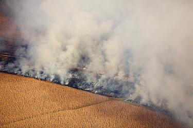 Maize (Zea mays) crops burning during fire in dry season, Gauteng, South Africa  -  Richard Du Toit