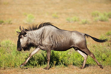 Blue Wildebeest (Connochaetes taurinus) female running, Kalahari, South Africa  -  Richard Du Toit