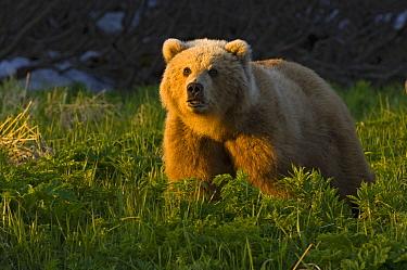 Brown Bear (Ursus arctos) at sunset, Kamchatka, Russia  -  Sergey Gorshkov
