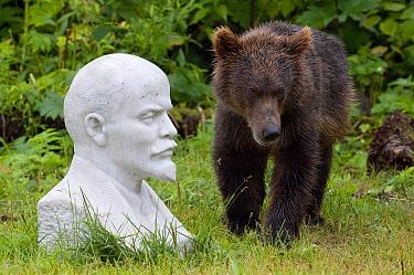 Brown Bear (Ursus arctos) cub near bust of Lenin, Kamchatka, Russia  -  Sergey Gorshkov