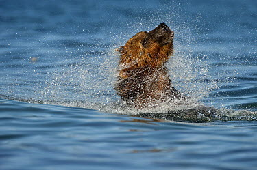 Brown Bear (Ursus arctos) shaking off water after dive, Kamchatka, Russia  -  Sergey Gorshkov
