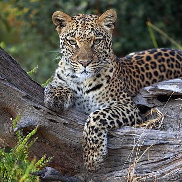 Leopard (Panthera pardus) resting, Botswana  -  Sergey Gorshkov