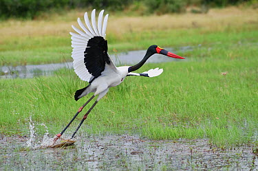 Saddle-billed Stork (Ephippiorhynchus senegalensis) taking flight, Botswana  -  Sergey Gorshkov