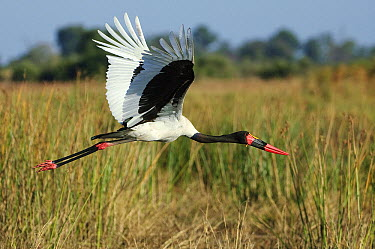 Saddle-billed Stork (Ephippiorhynchus senegalensis) flying, Botswana  -  Sergey Gorshkov