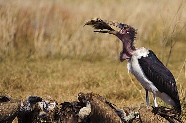 Marabou Stork (Leptoptilos crumeniferus) swallowing Blue Wildebeest tail,(Connochaetes taurinus), Botswana  -  Sergey Gorshkov