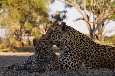 Leopard (Panthera pardus) mother and cub, Botswana  -  Sergey Gorshkov