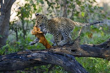 Leopard (Panthera pardus) cub carrying hide, Botswana  -  Sergey Gorshkov
