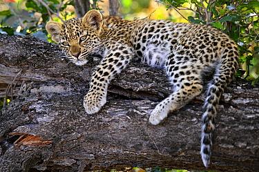 Leopard (Panthera pardus) cub resting in tree, Botswana  -  Sergey Gorshkov