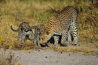 Leopard (Panthera pardus) mother and cubs, Botswana  -  Sergey Gorshkov